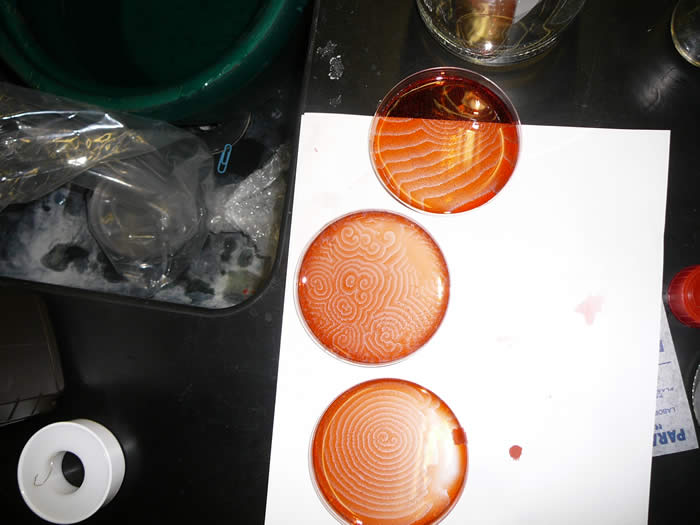 Flavio's Petri Dishes